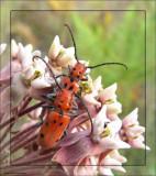 Milkweed beetles  (Tetraopes tetrophthalmus)