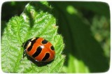 Three-banded ladybeetle (Coccinella trifasciata )