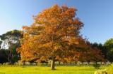 Oak Tree - Autumn