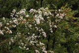 Blossom near Franklin River