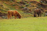 Heilan Coo's (that's Scottish for Highland Cows)