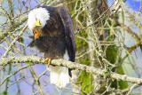 Eagle Scratching Head  card # 330