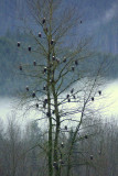 Eagle Tree 1  card # 172