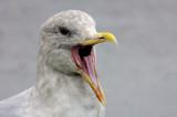 Seagull Talking    card # 309