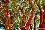 Madrona Tree 2  card # 075