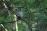 owl_at_padden
