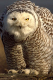 snowy_owls_500_mirror_nikkor_