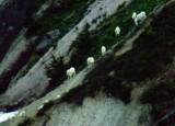 mountain_goats_table_mnt_area_mt_baker