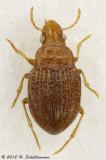 Meru phyllisae
