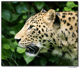 leopard-10792-sm.JPG
