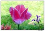 tulip-6954-sm.JPG