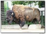 bison-14555-sm.JPG