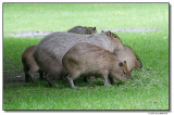 capybara14638-sm.JPG