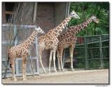 giraffe-14562-sm.JPG