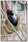 gorilla-14678-sm.JPG