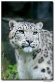 schneeleopard-14657-sm.JPG