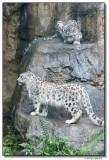 schneeleopard-14664-sm.JPG