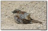 sparrow-14754-sm.JPG