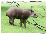 tapir-14637-sm.JPG