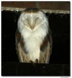 owl-14552-sm.JPG