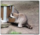 raccoon-14604-sm.JPG