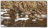 ducks-7595-sm.JPG
