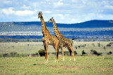 Giraffes pair