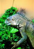 Iguana, Eating