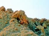 Wild Mountain Goats, Capra Ibex