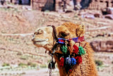 Camel's intelegent and peaceful look...