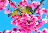Mejiro Bird on on Ume
