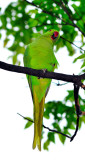 Parrots in Japan, not natural, must be invading pests...