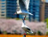 Agressive Gulls