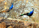 Two Peacocks in the Bushes