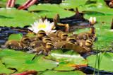 Baby Ducks and Nenufar