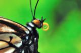 Butterfly Trunk