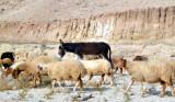 A Donkey Among the Sheep...