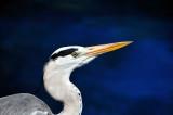 Maldives Grey Heron