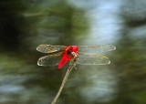 Red Dragonfly and Trees Reflections