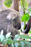 Really Cute Koala