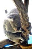 Cute Koala, Difficult Sleep...
