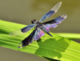 4 Wings Dragonfly