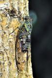 Minminzemi (Oncotympana maculaticollis)
