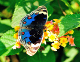 MultiEyed Indian Butterfly