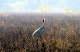 Crane in Morning Mist