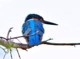 Kingfisher at Dawn, India
