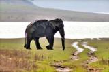 Wild Asian Elephant After the Bath