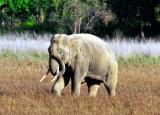 Wild Asian Elephant's Motion