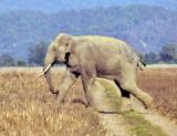 Wild Asian Elephant Crossing