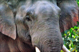 Wild Asian Elephant Close Up at Dawn II